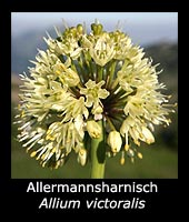 Allermannsharnisch Allium victorialis