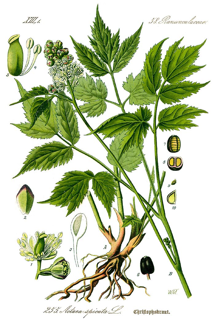 Christophskraut - Actaea spicata - Illustration Thomé