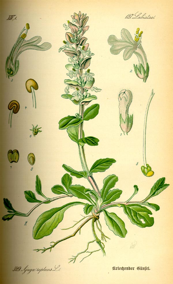 Kriechender Günsel - Ajuga reptans - Illustration Thomé