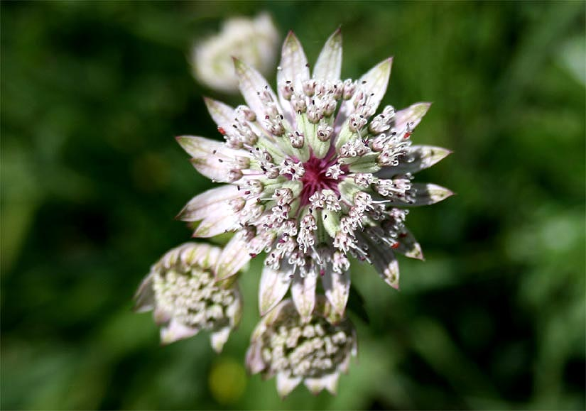 gro e sterndolde astrantia major alpenflora kleinwalsertal. Black Bedroom Furniture Sets. Home Design Ideas
