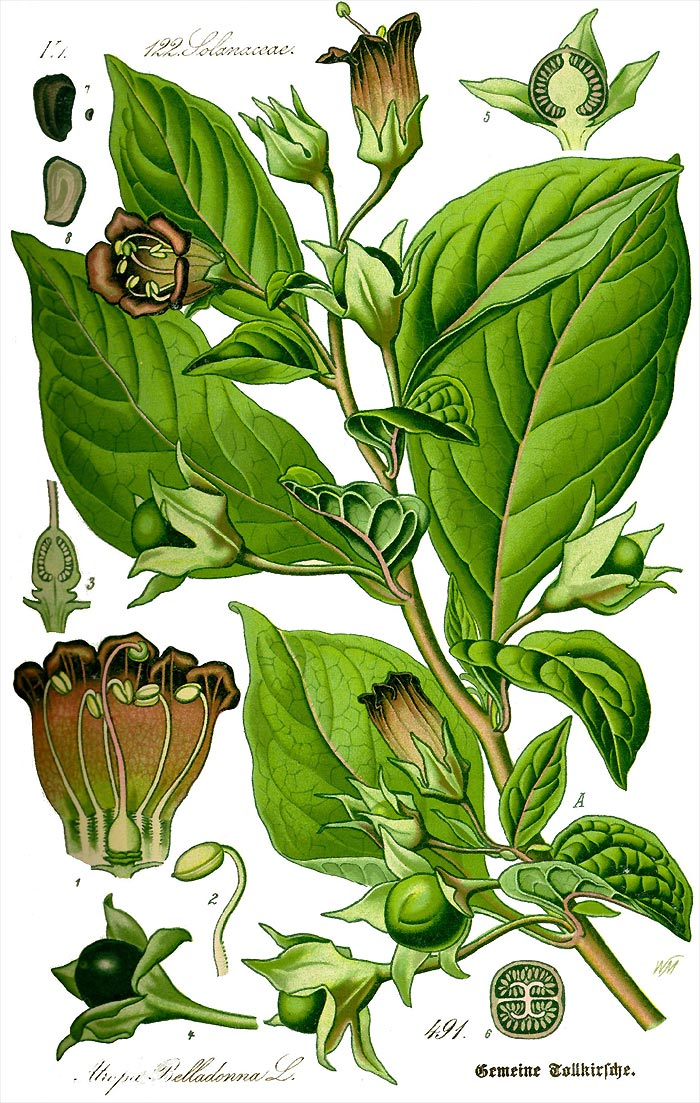 Schwarze Tollkirsche - Atropa belladonna - Illustration Thomé