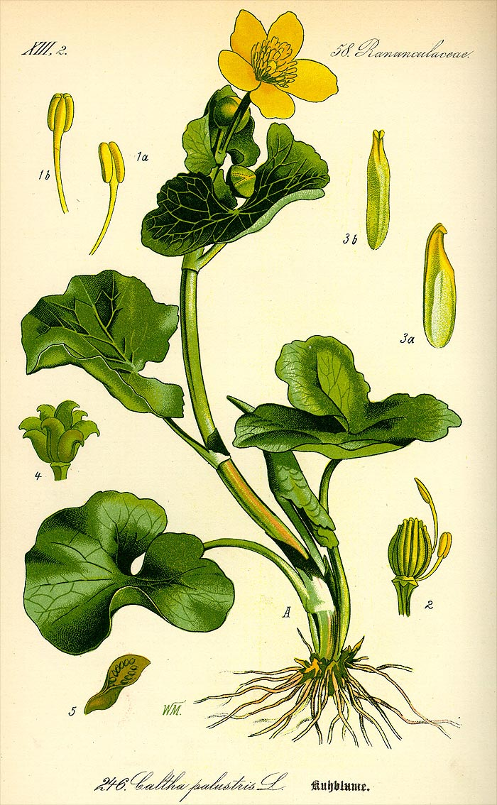 Sumpf-Dotterblume - Caltha palustris - Illustration Thome