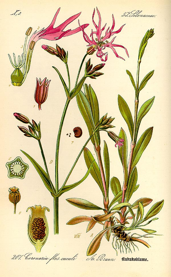 Kuckucks-Lichtnelke - Silene flos-cuculi - Illustration Thomé