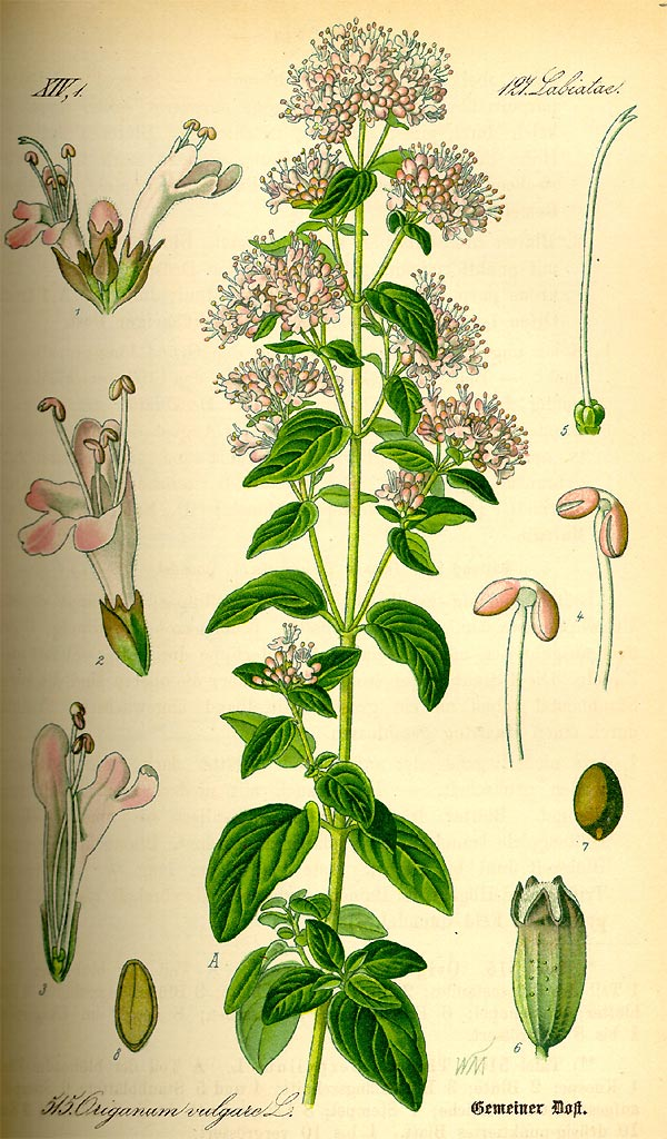 Oregano - Origanum vulgare - Illustration Thomé
