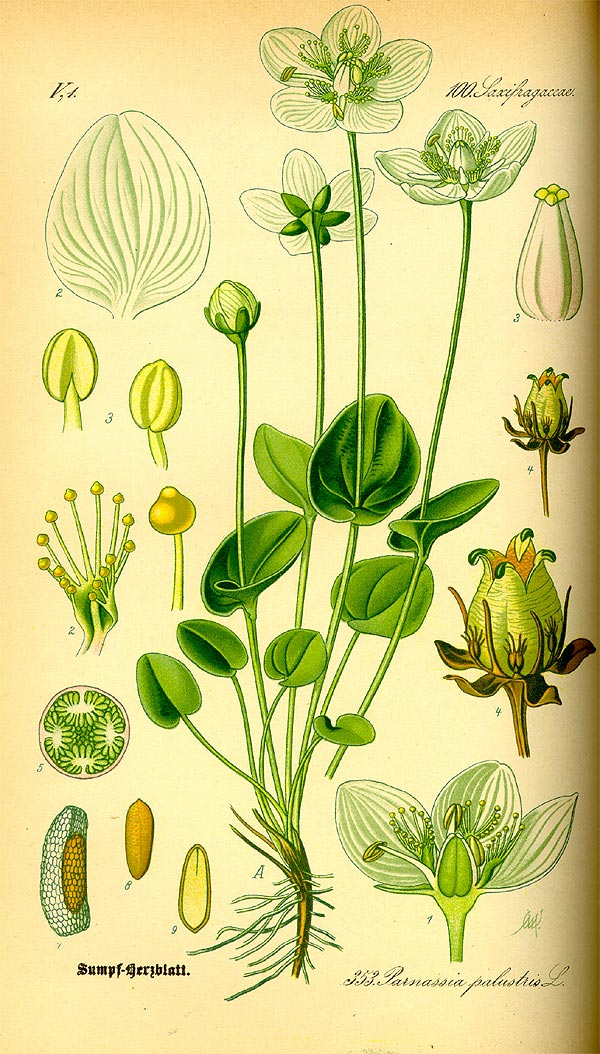 Sumpf-Herzblatt - Parnassia palustris - Illustration Thomé