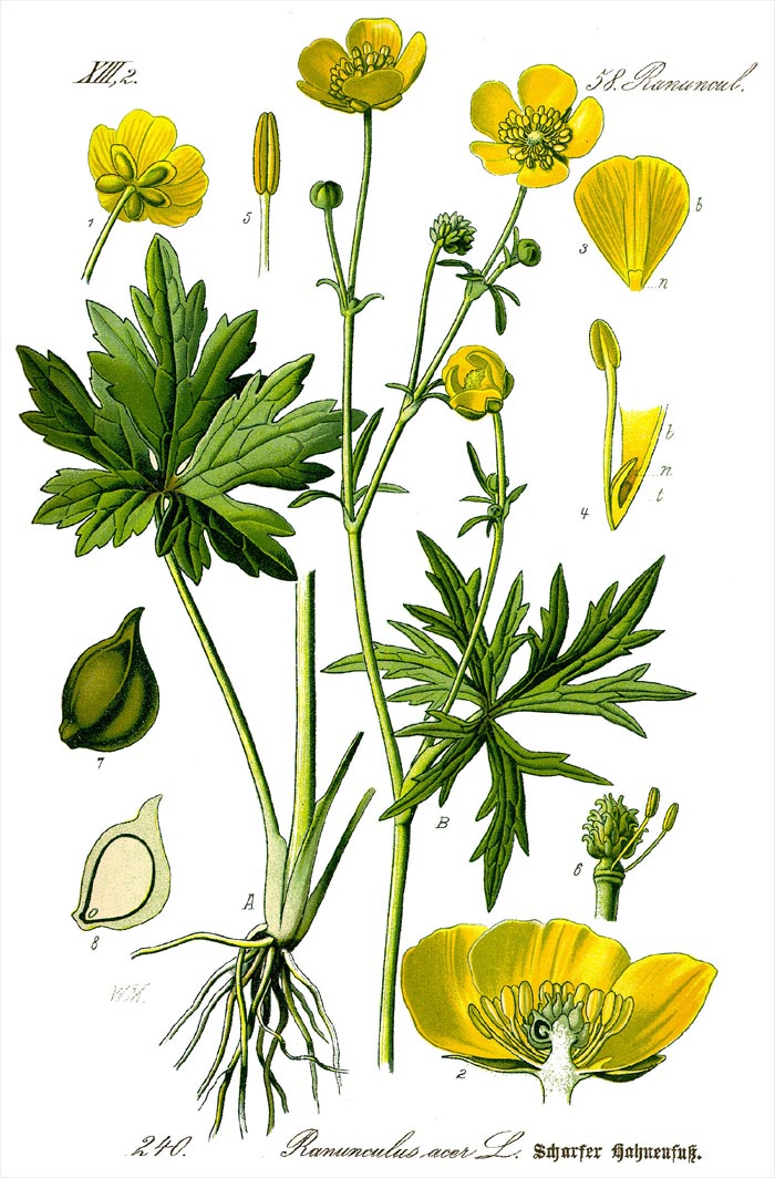 Scharfer Hahnenfuß - Ranunculus acris - Illustration Thomé
