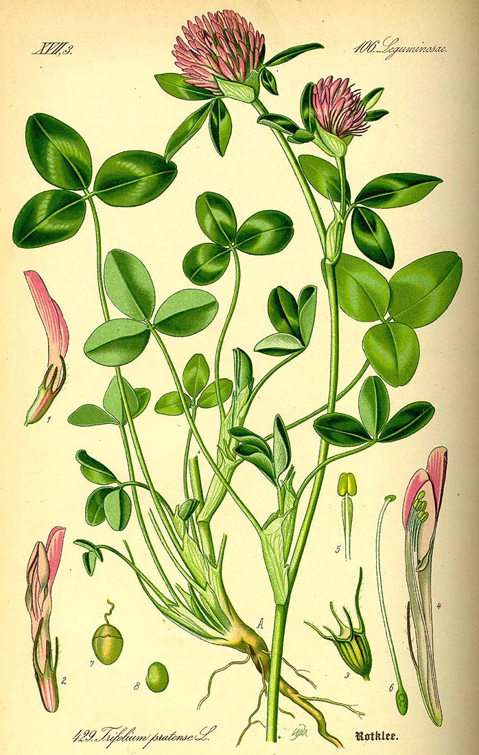 Wiesen-Klee - Trifolium pratense - Illustration Thomé