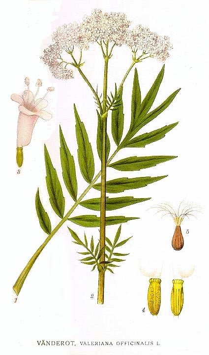 Echter Baldrian - Valeriana officinalis - Illustration Lindman