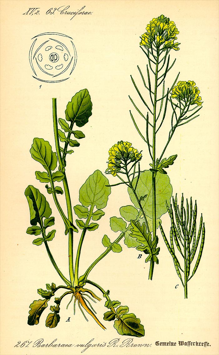 Gewöhnliches Barbarakraut - Barbarea vulgaris - Illustration Thomé