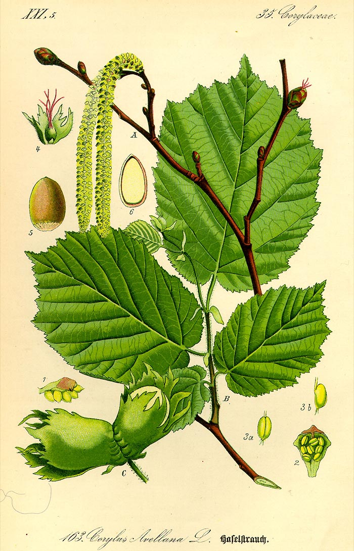 Haselstrauch - Corylus avellana - Illustration Thomé