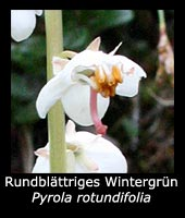 Rundblättriges Wintergrün - Pyrola rotundifolia