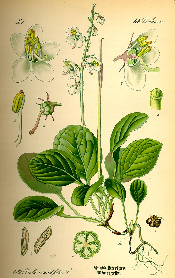 Rundblättriges Wintergrün - Pyrola rotundifolia - Illustration Thomé