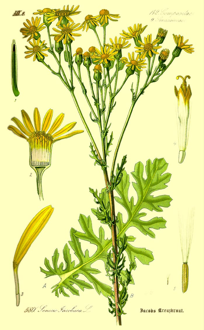 Jakobs-Greiskraut - Senecio jacobaea - Illustration Thomé