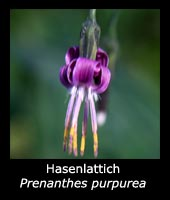 Hasenlattich - Prenanthes purpurea